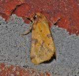 Obtuse Yellow Moth (9725)