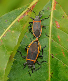 Bordered Plant Bugs