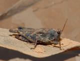 Pgymy Grasshopper