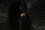 Spined Micrathena Spider in Web