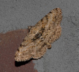 Hollow-spotted Angle Moth (6405)