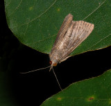 X-linear Grass-veneer Moth (5499)