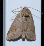 Obscure Underwing Moth (8784)