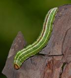 Southern Pine Sphinx Caterpillar (7816)