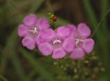 Agilinus Wildflower