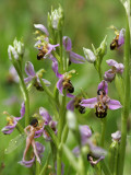 The Bee Orchids