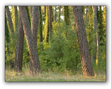 Abkhazia, grove of Pitsunda pine