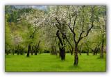Adygea republic, apple garden