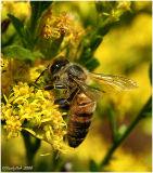 Honey Bee November 2 *