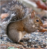 Squirrel December 5 *