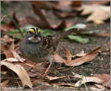 White Throated Sparrow December 12 *