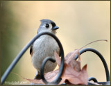Tufted Titmouse December 13 *