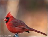 Cardinal December 23 *