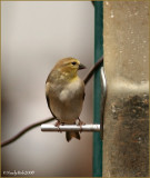 Gold Finch December 31 *