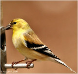 GoldFinch January 12 *