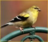 Gold Finch January 20 *