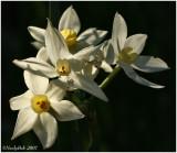 Daffodil January 26 *