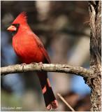 Red Bird January 27 *