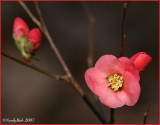 Flowering Quince January 29 *