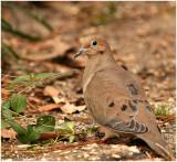 Mourning Dove January 30 *