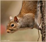 Squirrel January 31 *