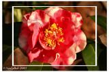 Variegated Camellia  February 3 *
