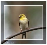 Gold Finch February 8 *