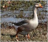 Goose February 9 *