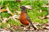 Robin February 13 *