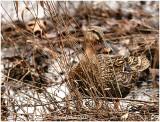 Mallard Duck February 14 *