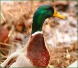 Mallard Duck February 15 *