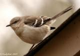 Mocking Bird February 16