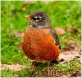 Robin February 18 *