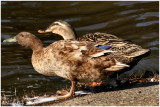 Two Ducks February 22 *