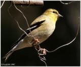 Gold Finch February 27 *