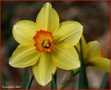 Yellow Daffodil March 5 *