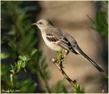 Mocking Bird March 9 *