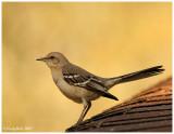 Mocking Bird March 15 *