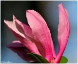 Tulip Tree Bloom March 17 *