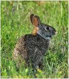 Rabbit March 18 *