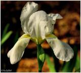 White Iris March 21 *