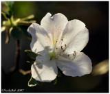 White Azalea March 31 *