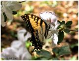 Butterfly April 2 *