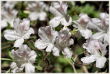 White Azaleas April 3 *