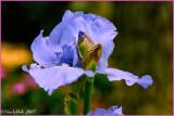 Blue Iris April 5 *