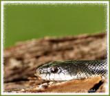 Sneaky Snake April 6 *