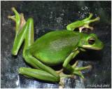 Green Tree Frog April 10 *