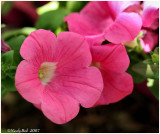 Pink Petunia April 18 *