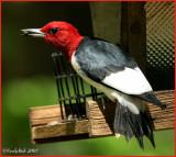 Red Headed Woodpecker April 20 *