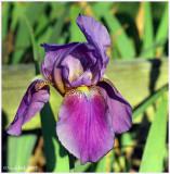 Iris April 22 *